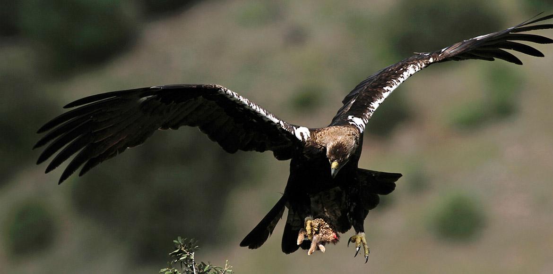 Amigios-Aguila-Imperial-Aquila-Imperial-home